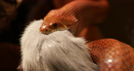 terrarium : front view close up of a red orange corn snake or Pantherophis Guttatus with wide open mouth swallowing its dead constricted prey.