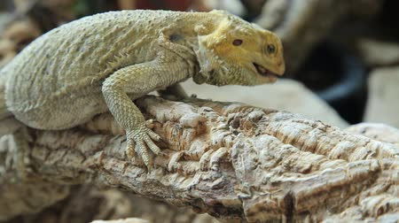 pogona : Pogona Vitticeps or Bearded Dragon, eating a beetle.