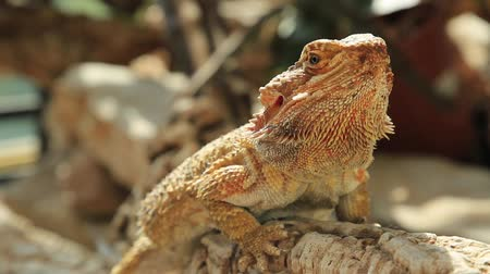 pogona : close up on Pogona Vitticeps head and scaly skin. A reptile living in Australia in the desert wildlife.