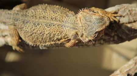 игуана : close-up of a Pogona Vitticeps breathing slowly and basking in the sun because its cold blooded species.