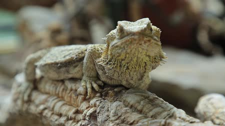 pogona : The Bearded Dragon lizard for the scales under the neck that swell and darken when its angry, is a reptile living in Australia in the desertic wildlife. Pogona Vitticeps.