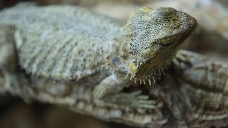 pogona : Bearded Dragon lizard head with scales close up. Australian reptile in the wildlife. Stock Footage