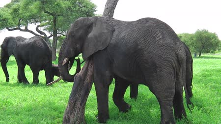np : African elephant scratching on a tree in Tarangire National Park of Tanzania, Africa.