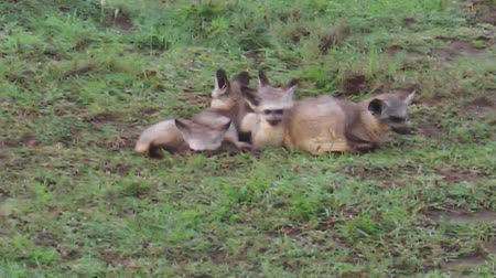 np : a herd of Red bat-eared foxes, Otocyon megalotis species, resting on the grass in the Serengeti National Park, Tanzania, Africa.