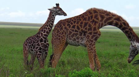 býložravý : African giraffe family with their baby in the savanna of the Serengeti National Park Tanzania in Africa.