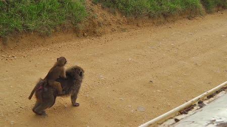 np : baby baboon walking on its mother in the savannah of the Serengeti National Park, Tanzania, Africa. Stock Footage