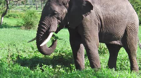 np : side view of African elephant eating grass in Tarangire National Park Tanzania in Africa.