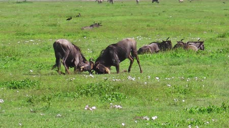 savanna : African males of blue wildebeests fight in the grass of Serengeti National Park, Tanzania in Africa. Connochaetes taurinus species.
