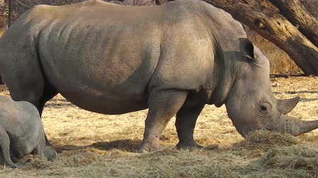 korumak : Family of white rhinos. Omaruru reserve, Namibia Africa Stok Video