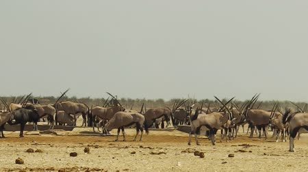 namibya : oryx herd in Namibia at water pool in Namibian savannah of Etosha National Park in Africa.