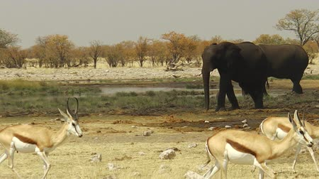 namibya : wild springbok and elephants at water pool in Namibian savannah of Etosha National Park, dry season in Namibia, Africa Stok Video