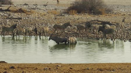 býložravý : zebras and oryxes drinking in Etosha National Park at a water pool in Namibia. Dostupné videozáznamy