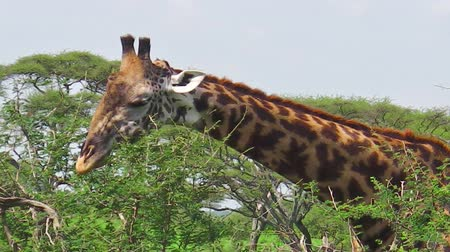 np : An African giraffe stretching high for eating fresh leaves from a tree in the savanna of the Serengeti National Park Tanzania in Africa.