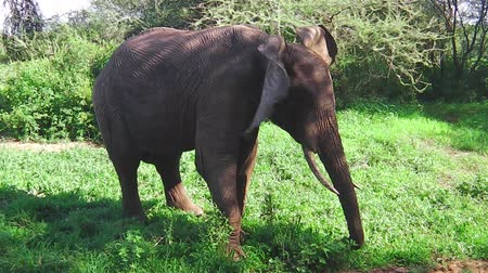 fil : African elephant eating grass in Tarangire National Park Tanzania in Africa. Stok Video