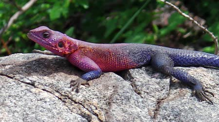 игуана : close up of African blue and red Agama in the mating season. Its a lizard of medium-small size. The rainbow agama hunts ants and other insects in the crevices of rocks in Kopjes of the Serengeti. Стоковые видеозаписи