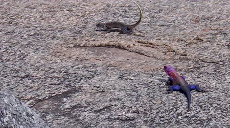 pogona : The blue and red Agama male mating the brown female. On Kopjes rocks of the Serengeti in Africa. Stock Footage