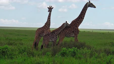 býložravý : African giraffes herd with their little giraffe in the grass of the Serengeti National Park Tanzania in Africa.
