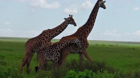 np : African giraffe couple with their baby in the savanna of the Serengeti National Park Tanzania in Africa. Stock Footage