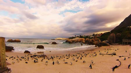 pinguim : African penguin colony at Boulder Beach, Simons Town near Cape Town, South Africa. It is part of the Table Mountain National Park, one of the top attractions of south africa.