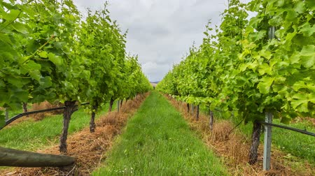 tasmania : Vineyard field in the area between Richmond, Cambridge and Hobart in Tasmania, Australia.