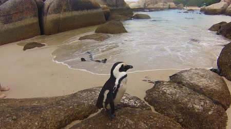 np : Close-up of penguins on granitic rocks of Boulder Beach. The famous colony of African penguins is located near Simons Town and Cape Town, South Africa. Boulders Beach is part of Table Mountain NP.