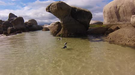 np : Boulder Beach African Penguins swimming in turquoise waters near Simons Town in South Africa. Stock Footage
