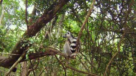 Мадагаскар : A ringtail lemur of Madagascar on the top of a tree in wild in Africa. Стоковые видеозаписи