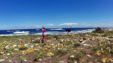 pštros : A Wild Ostrich along the Atlantic ocean shore with stormy in the spectacular scenery of the Cape of Good Hope, a section of Table Mountain National Park, Cape Peninsula, South Africa.