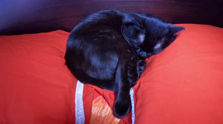 kotki : Black domestic cat sleeping in bed with red pillows. The concept of animal relax and safety. Wideo