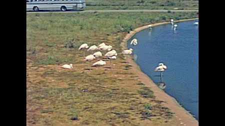 flamingi : MAJORCA, SPAIN - circa 1970: Historical restored footage of wild animals giraffes, flamingos and ostriches in old famous Safari Zoo park in Majorca.