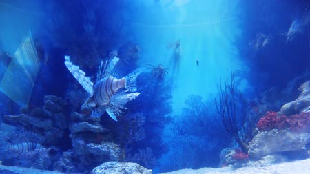 water show : Dubai, United Arab Emirates - May 1, 2013: colorful lion fishes with their venomous spines in the famous Dubai aquarium in time lapse. Stock Footage