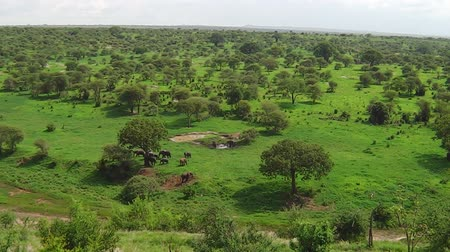 толстокожее животное : panorama of the Tarangire National Park of Tanzania in Africa. Herd of African elephants moving in the grassland with trees.