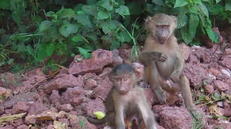 np : baby baboons playing each other in the forest of the Tarangire National Park, Tanzania, Africa.