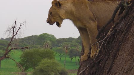 np : young male lion looking from a tree of the Tarangire National Park, Tanzania, Africa. Panthera Leo species. Stock Footage