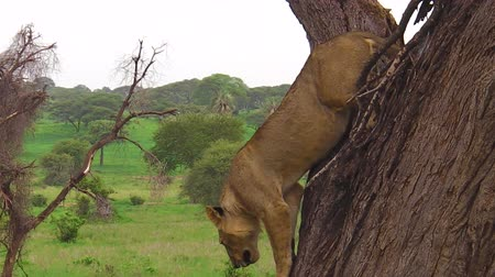 dravec : young male lion descending from a tree in the Tarangire National Park, Tanzania, Africa. The lion is part of Big Five. Panthera Leo in natural territory.