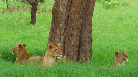 felidae : An African lion pride resting under a tree in the Tarangire National Park of Tanzania, Africa. The lion is part of Big Five. Panthera Leo in natural territory. Stock Footage