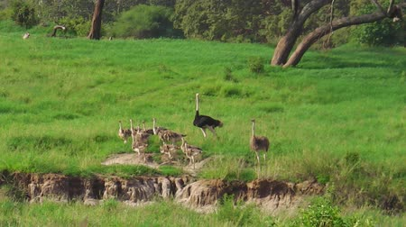 np : African ostrich family with chicks in the grassland of the Tarangire National Park of Tanzania, Africa.