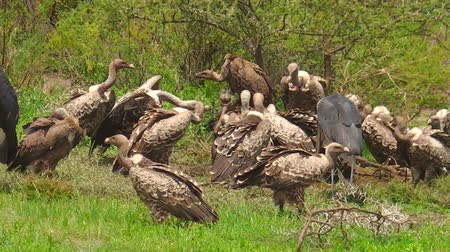 plain : White-backed vultures eating a dead carcass the Ngorongoro Conservation Area of Tanzania, Africa. Stock Footage