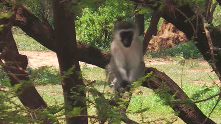 monkey : Vervet Monkey. Blue testicles monkey on the tree, Chlorocebus Pygerythrus species living in the Lake Manyara National Park, Tanzania, Africa. primate standing on the tree in nature forest.