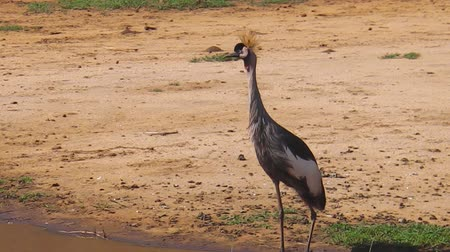 np : African Gray Crowned-Crane in the Lake Manyara National Park of Tanzania, Africa. Balearica regulorum Stock Footage