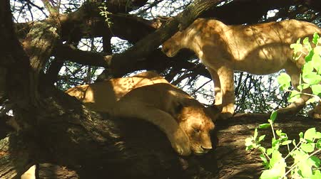 хищник : lions resting on the tree in the Lake Manyara National Park, Tanzania, Africa. Panthera Leo species. Стоковые видеозаписи