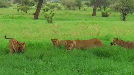 felidae : An African lion pride greeting in the grass of the Tarangire National Park of Tanzania, Africa. Panthera Leo species.