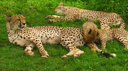 felidae : cheetah cubs cleaning with their mother in Ngorongoro Conservation Area in Tanzania, Africa. African big cats family. African cheetah species Acinonyx jubatus, family of felids.