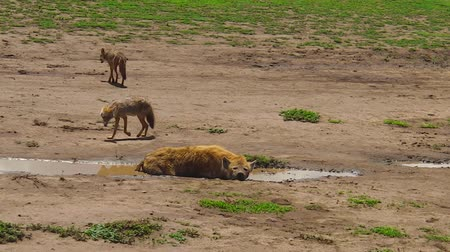 Танзания : Spotted Hyena and Golden Jackals in Ngorongoro Conservation Area, Tanzania in Africa.