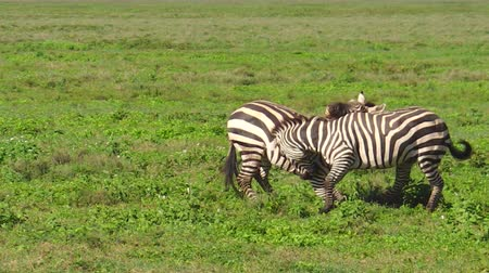 společenská místnost : African male zebras fighting for domination in Ndutu Area of Ngorongoro of Tanzania in Africa. African common zebras or Equus quagga formerly Equus burchellii.