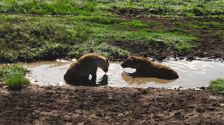 プレデター : Spotted Hyenas drinking in the mud waterpool in Ndutu Area of Ngorongoro, Tanzania in Africa.