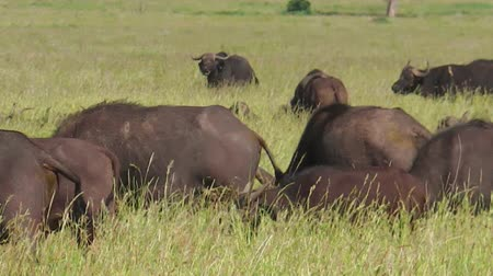 afrikaanse dieren : African cape buffalos close up in the great annual migration of Serengeti National Park of Tanzania in Africa. Closeup of African buffalo, Syncerus caffer, in habitat nature. Stockvideo