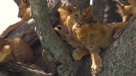 Серенгети : young lions with cubs on the trees of the Serengeti National Park, Tanzania, Africa. Panthera Leo species. Panthera Leo in nature habitat. The lion is part of the Big Five. Стоковые видеозаписи