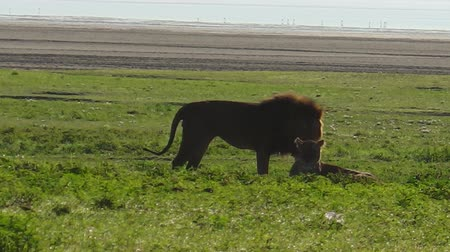 Серенгети : African lion couple mating in the grass of the Ngorongoro Crater of Tanzania, Africa. Panthera Leo in natural habitat. The lion is part of the popular Big Five. Стоковые видеозаписи