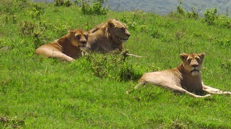 király : close up of African lion pride in the grassland of the Ngorongoro Crater of Tanzania, Africa. Panthera Leo in nature habitat. The lion is part of Big Five. Stock mozgókép